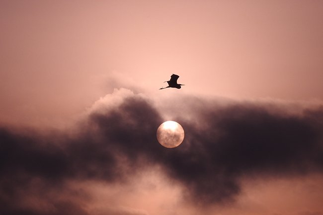 Egret Over Moon, Pitt Street Bridge
