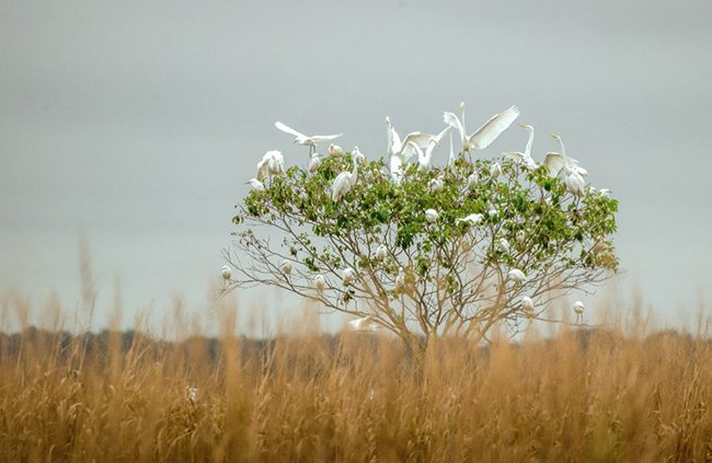 Egrets at Bear Island WMA