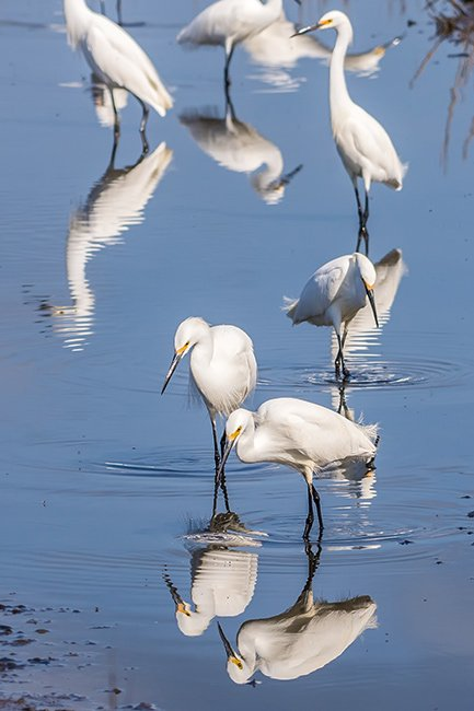 Huntington Beach State Park Egrets