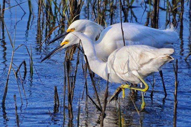 Two Egrets at Huntington Beach