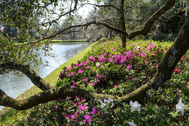 Oak and Azaleas by Water - Middleton Place
