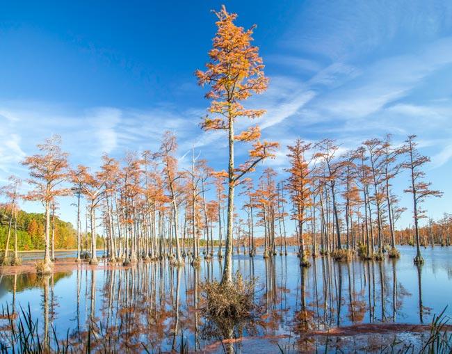 Goodale Cypress Trees