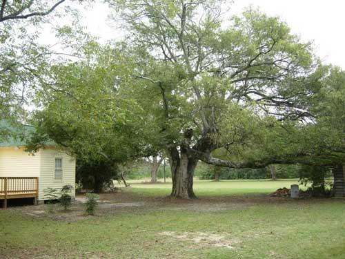 Harriet Barber Tree