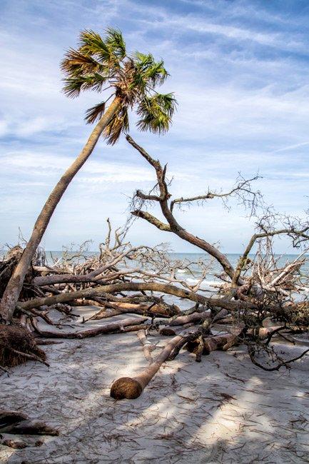 Hunting Island Palmetto Tree