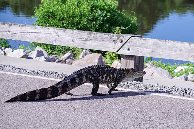 Alligator Crossing- Hunting Island State Park