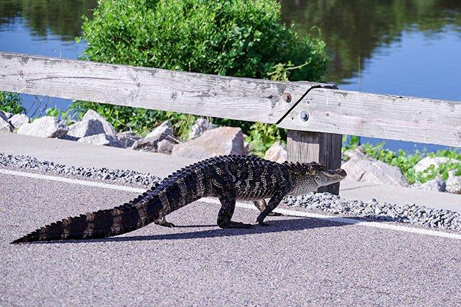 Alligator Crossing- Hunting Island State Park