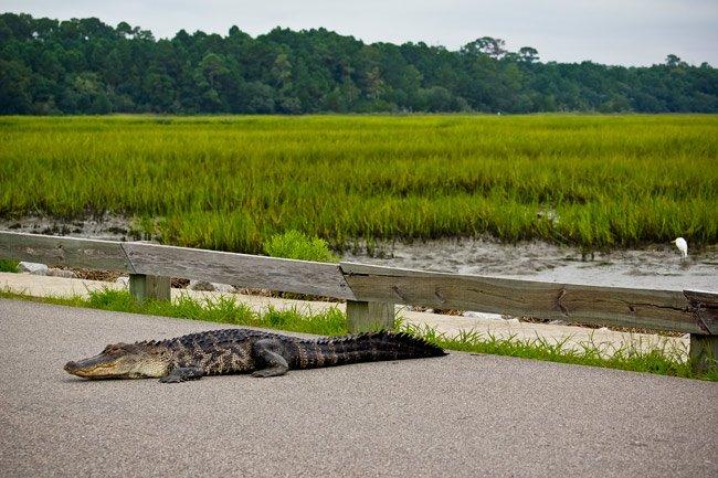 Huntington Beach Alligator