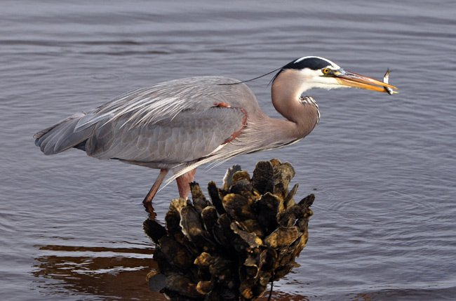 Huntington Beach Heron