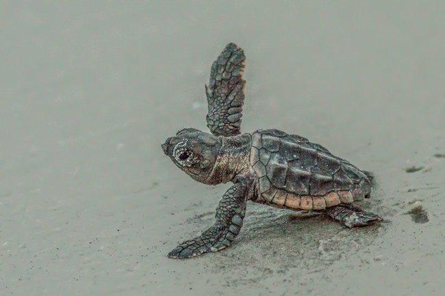 Huntington Beach Baby Turtles