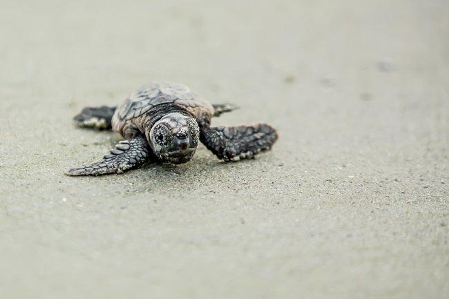 Huntington Turtle