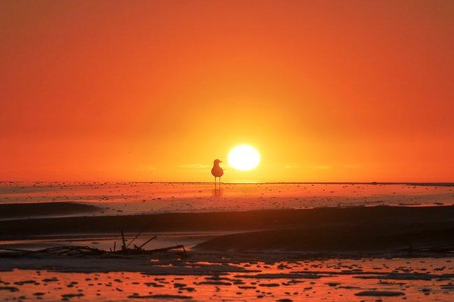 Isle of Palms Seagull