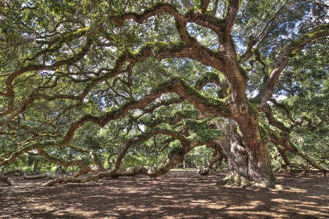 Johns Island Angel Oak