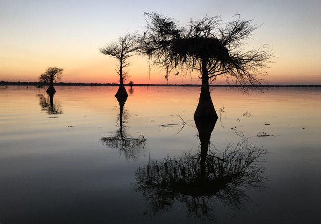 Lake Moultrie Cypress Trees