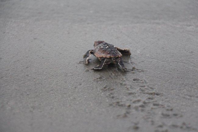 Litchfield Turtle