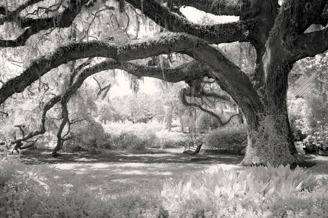 Live Oak and Swing