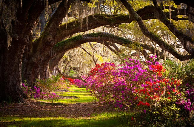Live Oaks at Magnolia Plantation