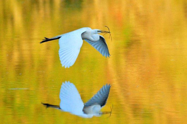 Magnolia Gardens Audubon Swamp Egret