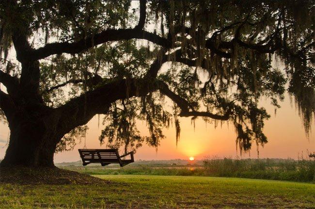 Mansfield Plantation Oak Tree