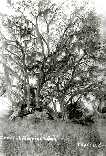 Marion Oak at Hayes Plantation