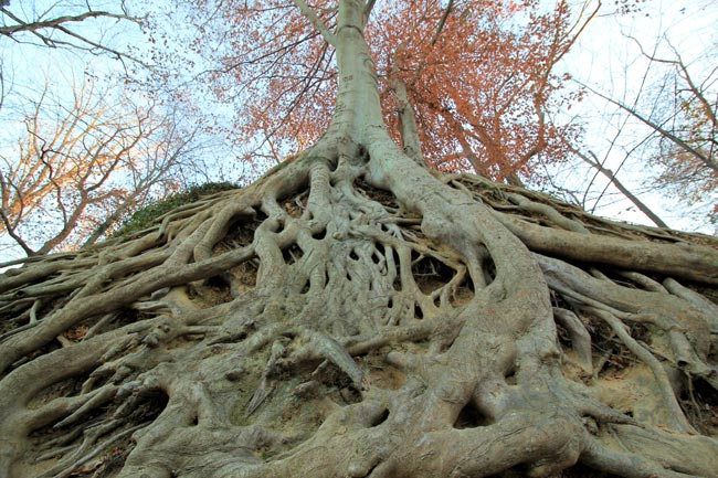 Medusa Tree
