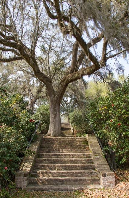Mepkin Abbey Oak Tree