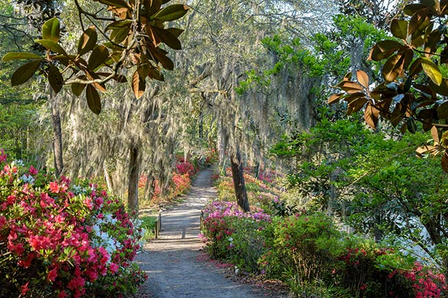 Middleton Place Azalea Hill