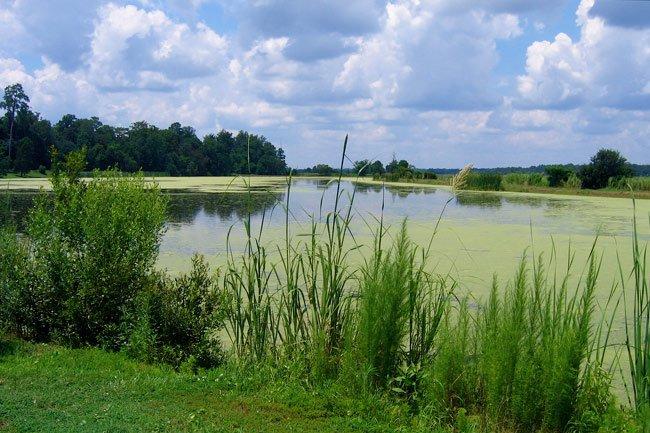Middleton Place Rice Field