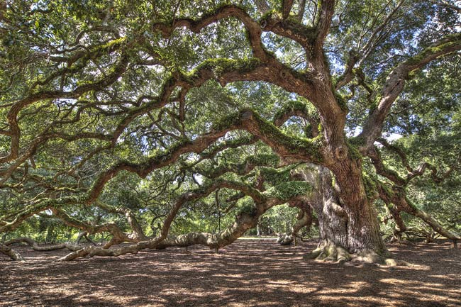 The Mighty Angel Oak