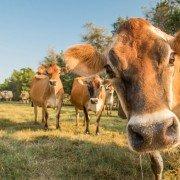 Milky Way Farm Cows