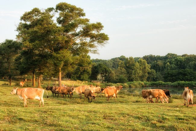 Cows Grazing at the Milky Way Dairy Farm