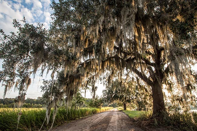 Donnelley WMA Live Oak