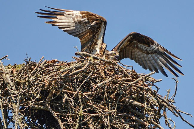 Mother Osprey Lake Juniper
