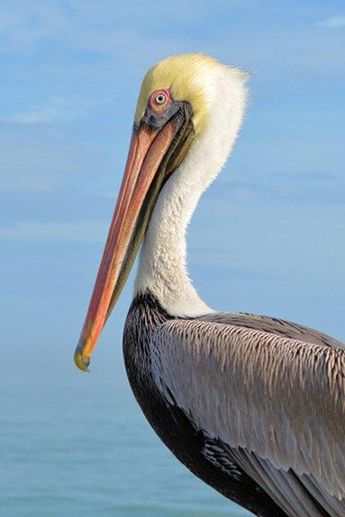Clyde the Springmaid Pier pelican
