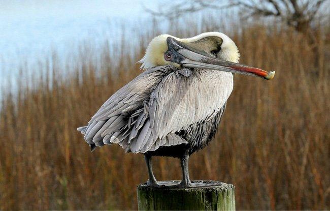 Pelican Murrells Inlet