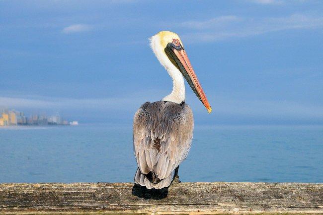 Springmaid Pier pelican