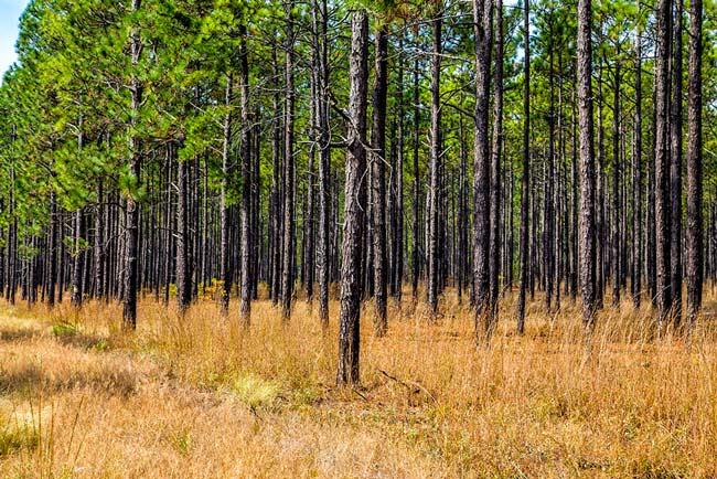 Pine Stand Carolina Sandhills
