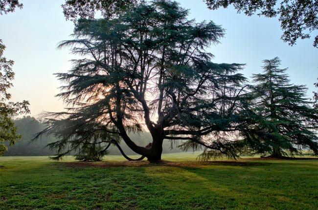 Redcliffe Plantation Tree