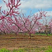 Ridge Springs Peaches