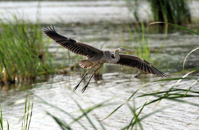 Savannah Wildlife Refuge Heron