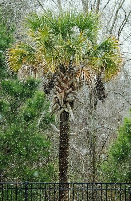 Snow-covered Palmetto Tree