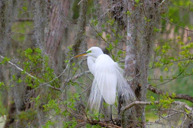 Snowy Egret Magnolia