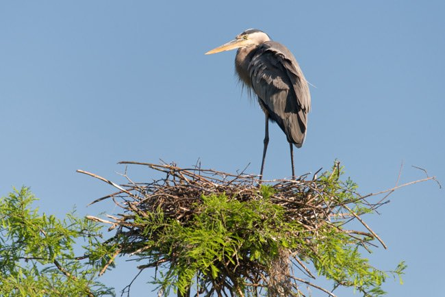 Solitary Blue Heron