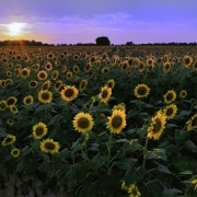 St. Matthews Sunflowers