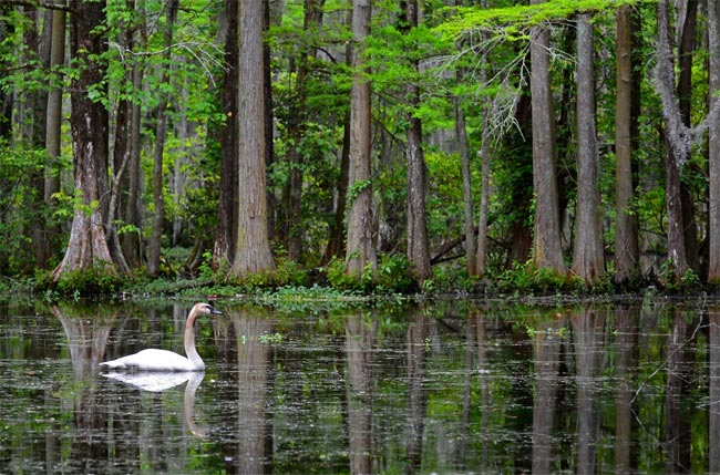 swan lake iris gardens sumter south carolina