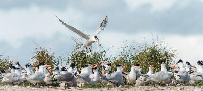 Terns Crab Bank