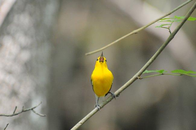 Warbler Beilder Forest