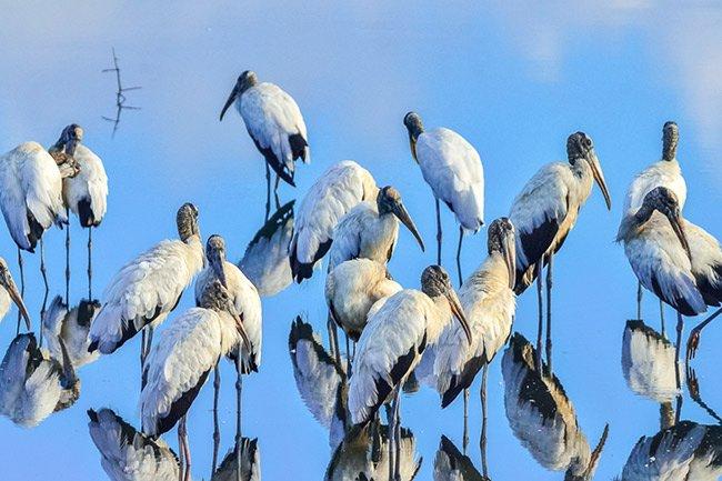 Huntingon Beach State Park Woodstorks